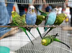 animal, parrot, pet, fauna, parakeet, common pet parakeet, beak, bird,