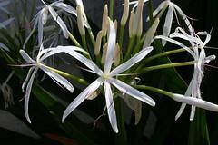 wheel(0.0), hymenocallis(1.0), flower(1.0), hymenocallis littoralis(1.0), plant(1.0), macro photography(1.0), flora(1.0),
