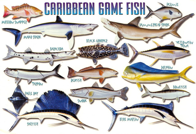 Fish - Caribbean Game Fish | Caribbean Game Fish Mutton Sna… | Flickr - Photo Sharing!