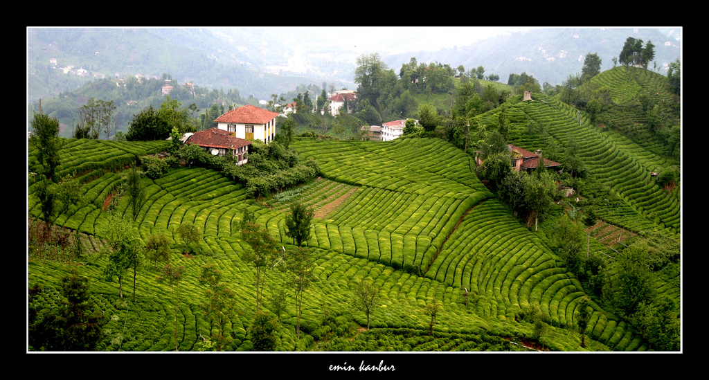 rize tea producers