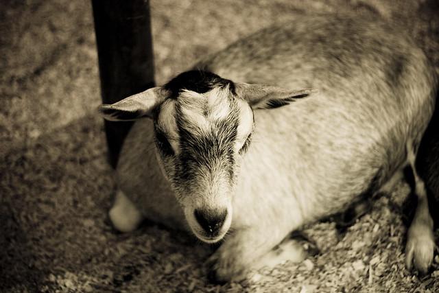 Un pauvre succédané de chèvre