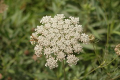 meadowsweet(0.0), apiales(1.0), yarrow(1.0), shrub(1.0), flower(1.0), cow parsley(1.0), plant(1.0), macro photography(1.0), subshrub(1.0), herb(1.0), anthriscus(1.0), wildflower(1.0), flora(1.0), produce(1.0), caraway(1.0),