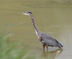 pelecaniformes(0.0), animal(1.0), wing(1.0), fauna(1.0), little blue heron(1.0), heron(1.0), beak(1.0), bird(1.0), wildlife(1.0),