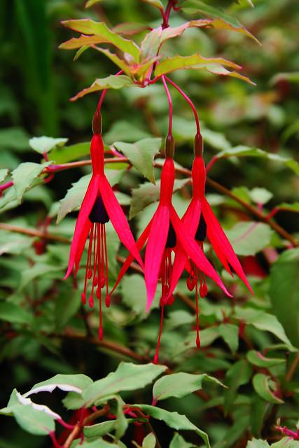 Fuchsia magellanica versicolor 2574 flickr photo sharing for Fuchsia magellanica