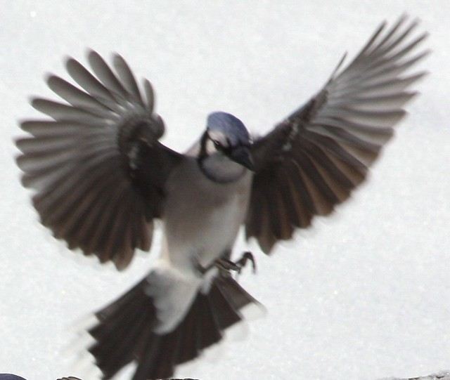 blue jay landing flickr photo sharing