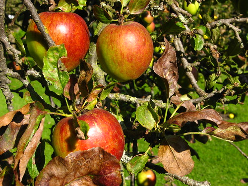 Apples in Fenton House Garden, Hampstead