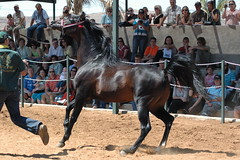 rodeo(0.0), english riding(0.0), western riding(0.0), equestrian sport(0.0), western pleasure(0.0), equitation(0.0), fair(0.0), barrel racing(0.0), animal sports(1.0), equestrianism(1.0), mare(1.0), stallion(1.0), sports(1.0), animal training(1.0), pack animal(1.0), horse(1.0), horse harness(1.0), traditional sport(1.0),