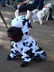cow pug