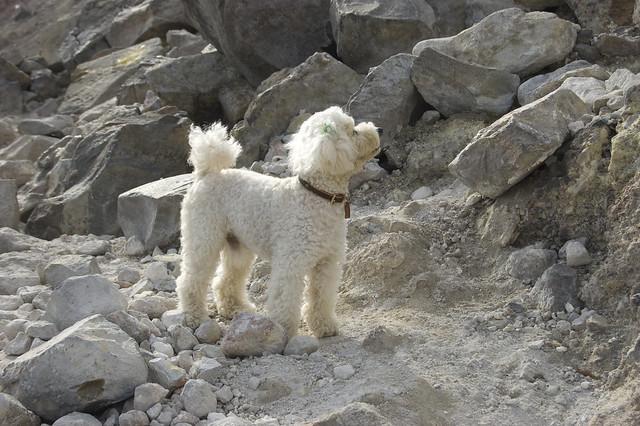 登山する犬