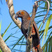 New Zealand Kaka - Photo (c) Phillip Capper, some rights reserved (CC BY)