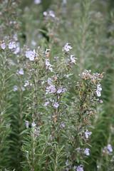 pennyroyal(0.0), hyssopus(0.0), english lavender(0.0), breckland thyme(0.0), shrub(1.0), flower(1.0), rosemary(1.0), plant(1.0), subshrub(1.0), flora(1.0),