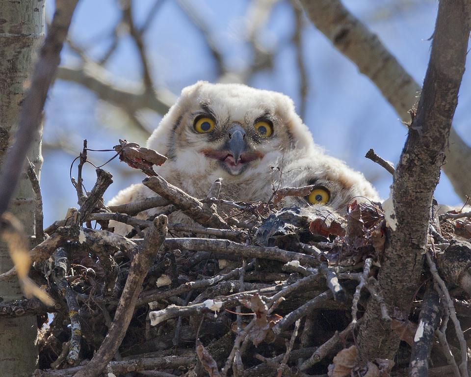 Three-eyed Owl?