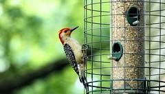 animal, pet, fauna, woodpecker, beak, bird,