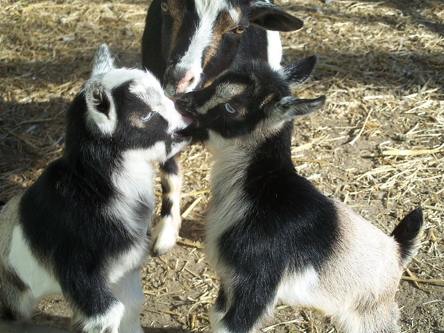 Nigerian Dwarf Goat kids Playing around. www.TheBigWRanch ...
