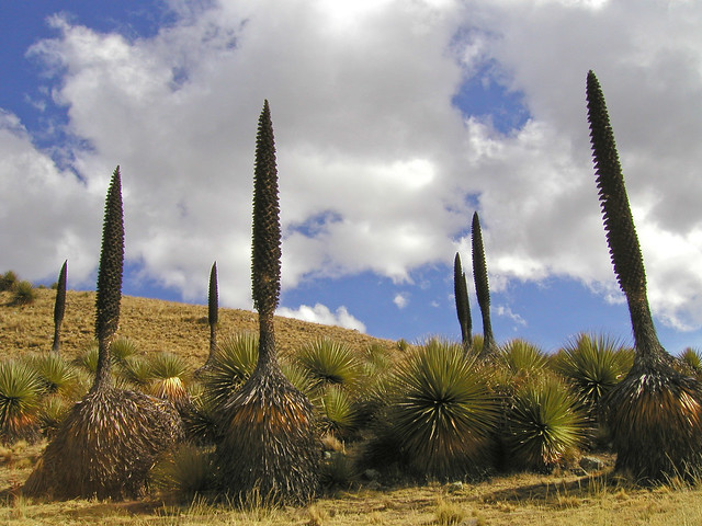 Puya Raymondi, Parque Nacional Huascarán, Cordillera Blanca, Perú