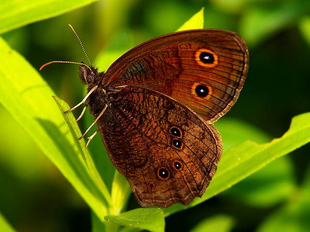 Common Wood-Nymph Butterfly, male | Flickr - Photo Sharing!