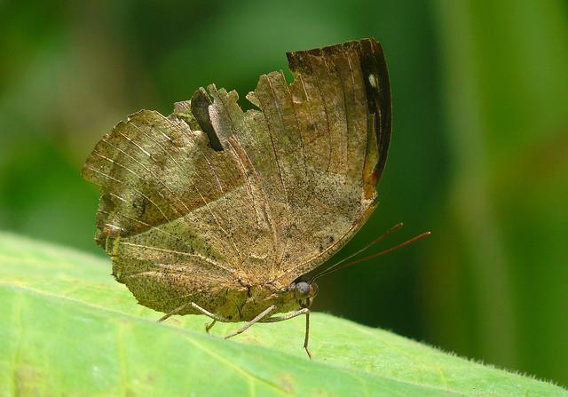 Indian Dead Leaf Butterfly