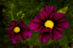 pink(0.0), annual plant(1.0), flower(1.0), garden cosmos(1.0), yellow(1.0), plant(1.0), macro photography(1.0), flora(1.0), close-up(1.0), cosmos(1.0), petal(1.0),