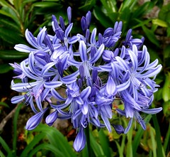flower, plant, india hyacinth, herb, flora,