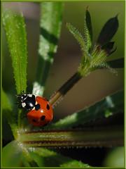 Five Spot Ladybird.