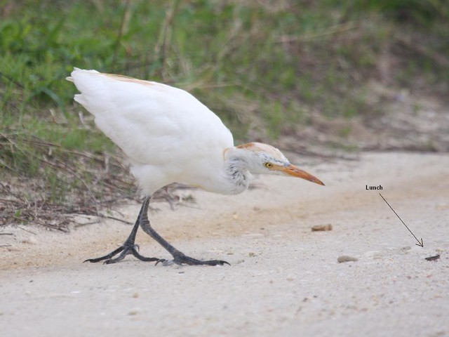 Cattle Egret - The Brig - Sept 20th, 2008