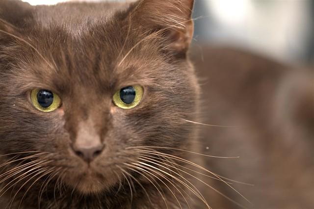 Гавана браун, фото породы кошек фотография