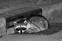animal(1.0), raccoon(1.0), mammal(1.0), monochrome photography(1.0), fauna(1.0), monochrome(1.0), whiskers(1.0), black-and-white(1.0), procyon(1.0), black(1.0), wildlife(1.0),