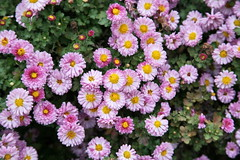 asterales, annual plant, flower, plant, flora, chrysanths,