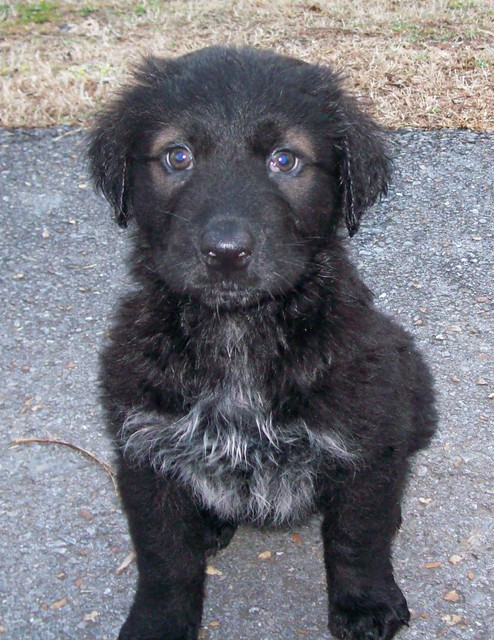 Black Lab Newfoundland Mix Puppies