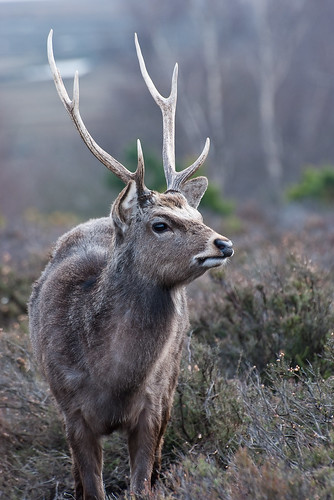 Sika Stag - Arne