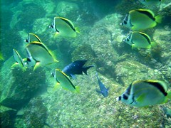 diving(0.0), coral reef(1.0), algae(1.0), fish(1.0), coral reef fish(1.0), sea(1.0), marine biology(1.0), underwater(1.0), reef(1.0), pomacentridae(1.0),