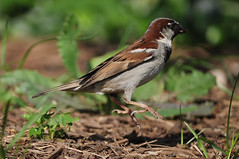 animal, sparrow, fauna, emberizidae, beak, house sparrow, bird, wildlife,
