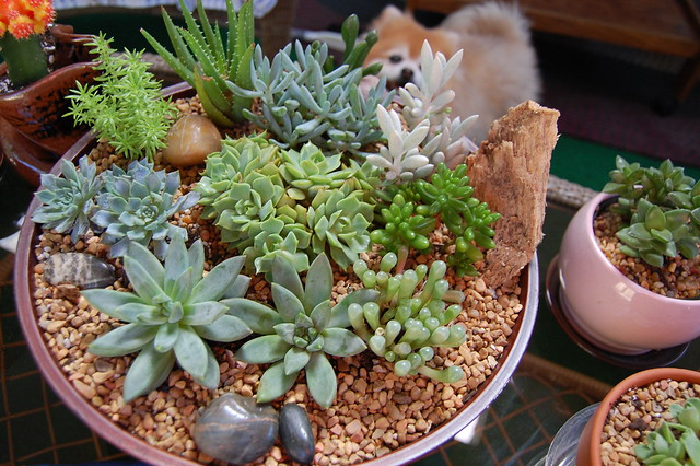 succulent dish garden growing flickr photo sharing