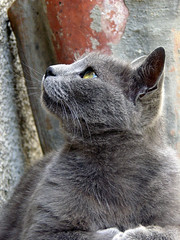 nose, animal, british shorthair, small to medium-sized cats, pet, snout, mammal, european shorthair, fauna, chartreux, close-up, cat, korat, wild cat, whiskers, russian blue, domestic short-haired cat,