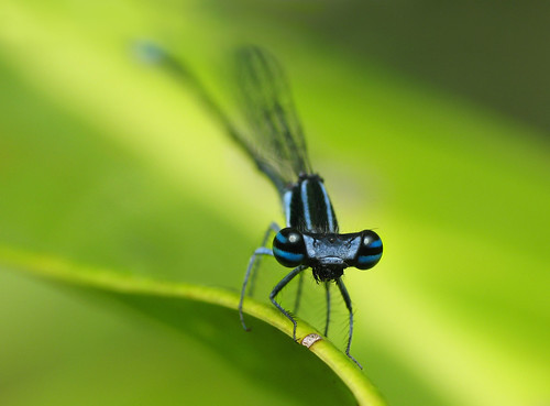 africa blue portrait cliff west macro green canon insect de photographie south powershot demoiselle damselfly falaise olivier insecte burkina nigra macrophotography g7 faso odonata banfora esnault powershotg7 pillot elattoneura