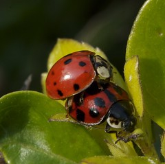 arthropod, animal, ladybird, invertebrate, insect, macro photography, fauna, close-up, leaf beetle, beetle,