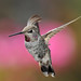 Anna's Hummingbird in Pink