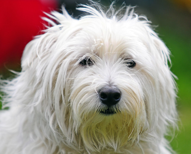Hamish my westie | This is my excuse for a dog, he is a ...