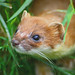 Weasels - Photo (c) Keven Law, some rights reserved (CC BY-SA)