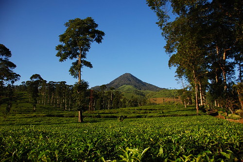 Pagilaran Tea Plantation
