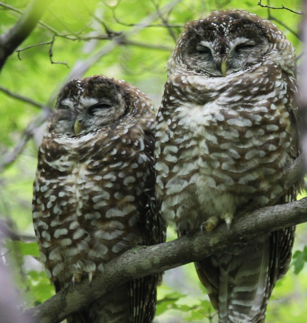 Spotted Owls - Sept 1st, 2008 - Arizona