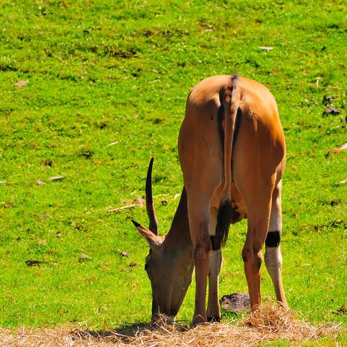 geotagged cropped eland grouptags rawjpg baabshots geo:lat=46138032 geo:lon=6488314 ©pjgergelyallrightsreserved