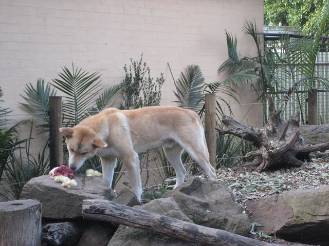Dingo eating baby flickr photo sharing