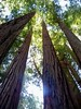 Coast Redwood - Photo (c) Brandi Tressler, some rights reserved (CC BY-ND)