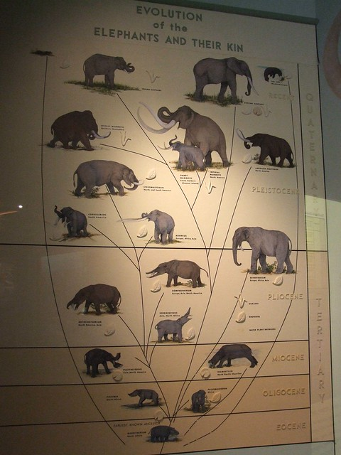 Elephant Family Tree
