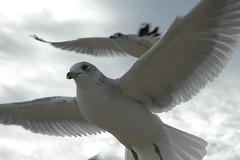 Sea Gull 015