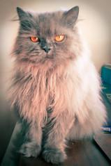 animal, small to medium-sized cats, pet, cat, carnivoran, himalayan,
