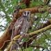 Verreaux's Eagle Owl (Grant Atkinson)