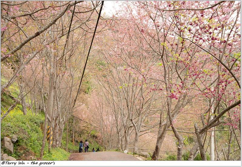 2014-3-01 拉拉山櫻花-16