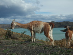 animal, nature, mammal, llama, grazing, fauna, vicuã±a, natural environment, guanaco, landscape, pasture, wildlife,